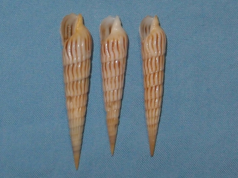 Myurella parkinsoni - (Cernohorsky & Bratcher, 1976) P1171411