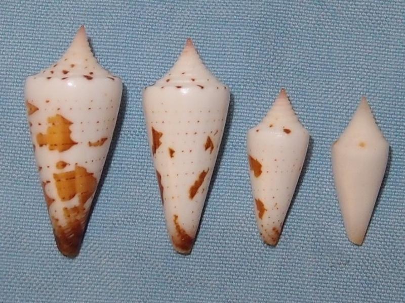 Conus_malvidus juvénille P1181410