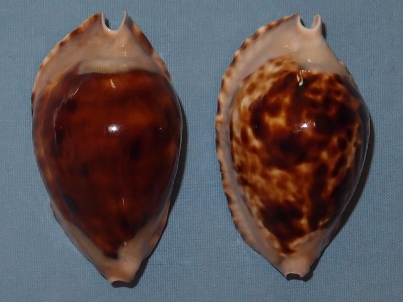 Zoila marginata consueta - Biraghi, 1993 P2021610