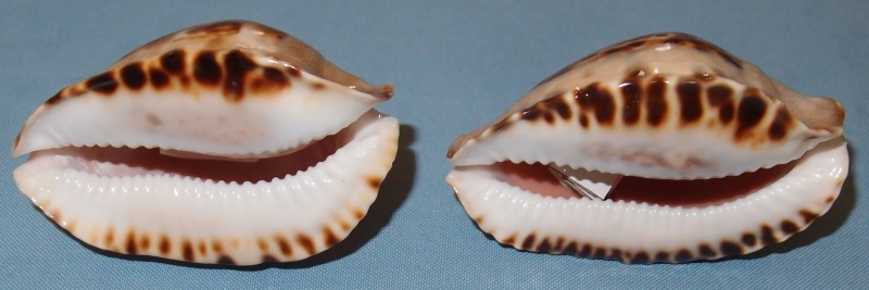 Zoila marginata consueta - Biraghi, 1993 P2021611