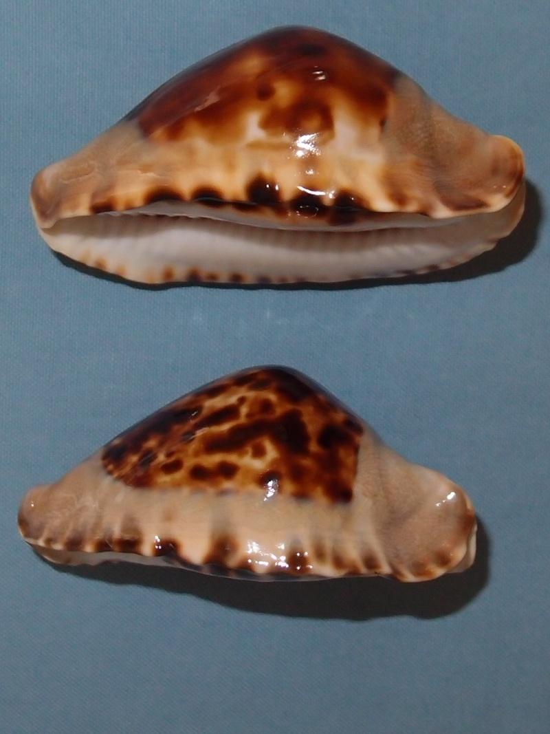 Zoila marginata consueta - Biraghi, 1993 P2021613