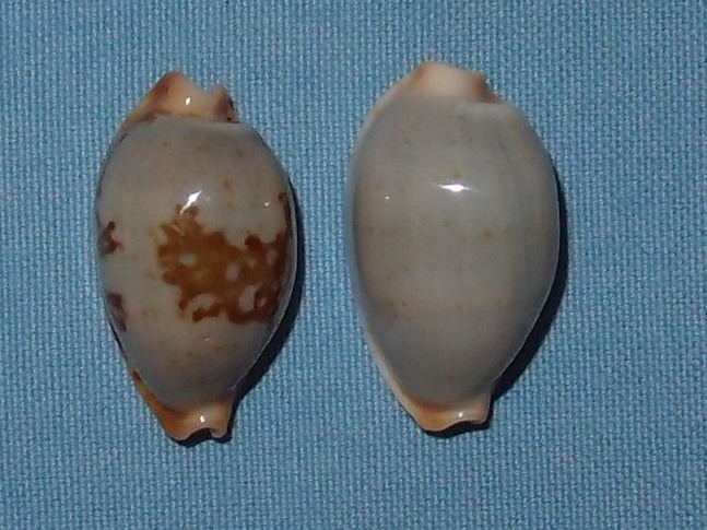Bistolida stolida clavicola - Lorenz, 1998 P2021620