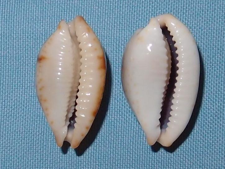 Bistolida stolida clavicola - Lorenz, 1998 P2021621