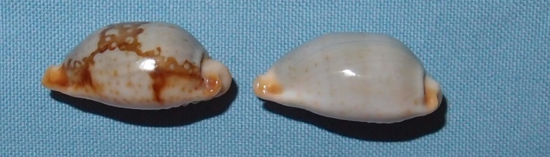 Bistolida stolida clavicola - Lorenz, 1998 P2021622