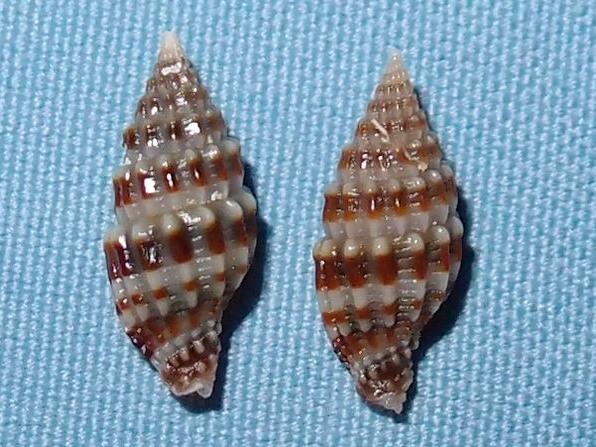Vexillum paligerum - (G. B. Sowerby II, 1874)  P2031719