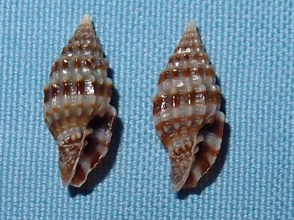 Vexillum paligerum - (G. B. Sowerby II, 1874)  P2031720