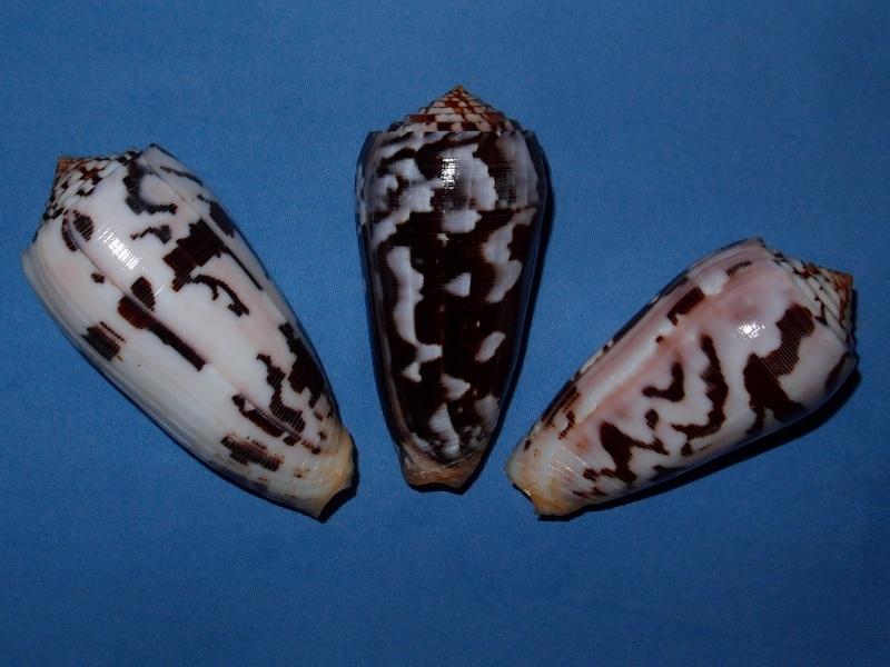 Conus (Pionoconus) striatus   (Linnaeus, 1758)  - Page 3 P2051710