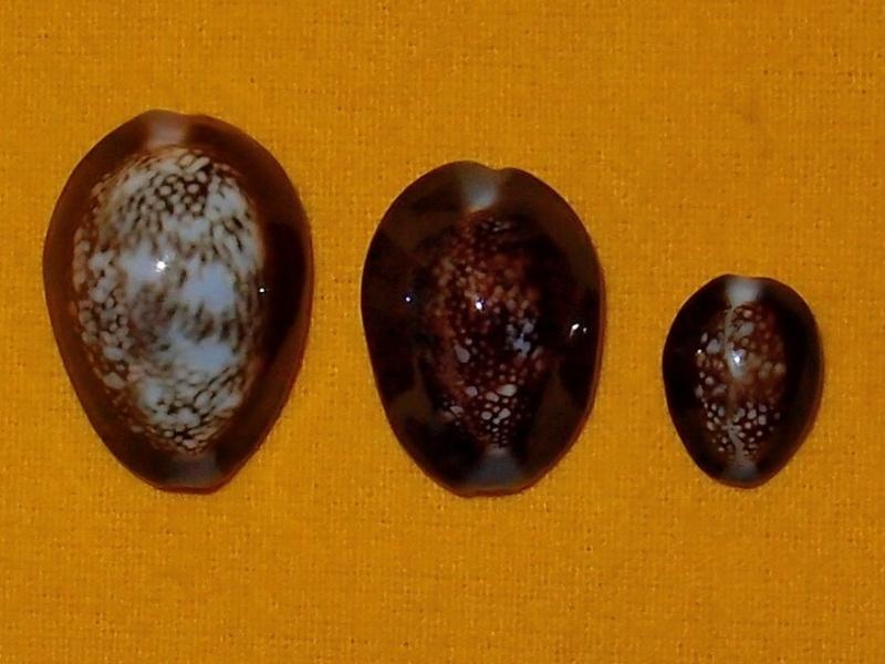 Monetaria caputserpentis caputserpentis - (Linnaeus, 1758) - Page 2 P2081810