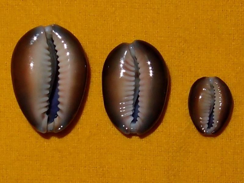 Monetaria caputserpentis caputserpentis - (Linnaeus, 1758) - Page 2 P2081811