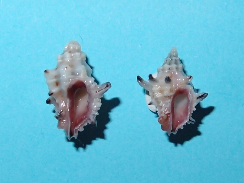 Murichorda fiscellum - (Gmelin, 1791) P6230610