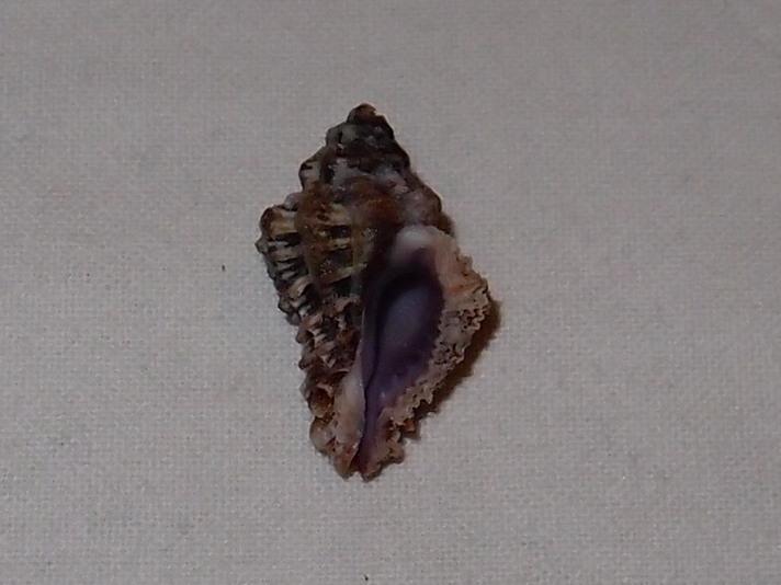Murichorda fiscellum - (Gmelin, 1791) Pc180915