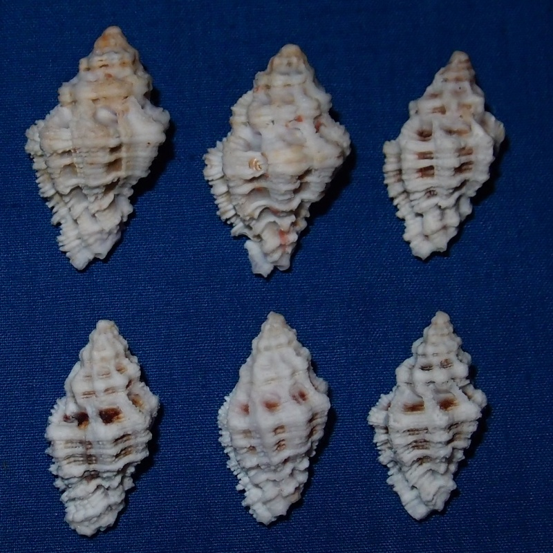 Murichorda fiscellum - (Gmelin, 1791) Pc180917