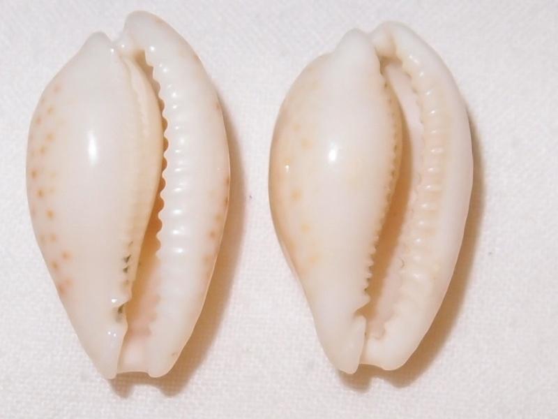 Cribrarula esontropia - (Duclos, 1833)  Pc231011