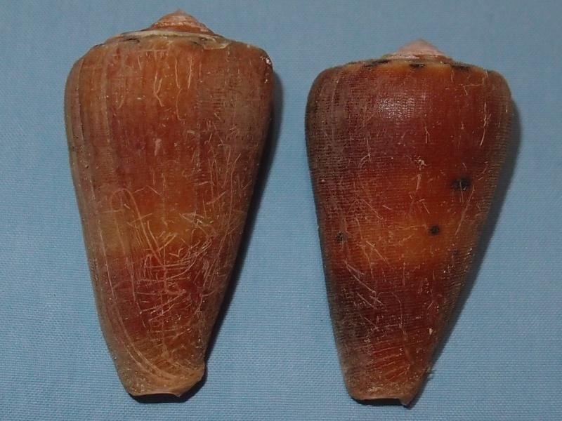 Conus (Pionoconus) barthelemyi  Bernardi, 1861 - Page 5 Pc261012