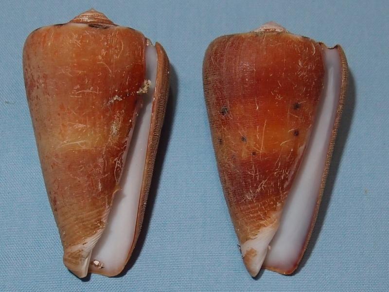 Conus (Pionoconus) barthelemyi  Bernardi, 1861 - Page 5 Pc261013