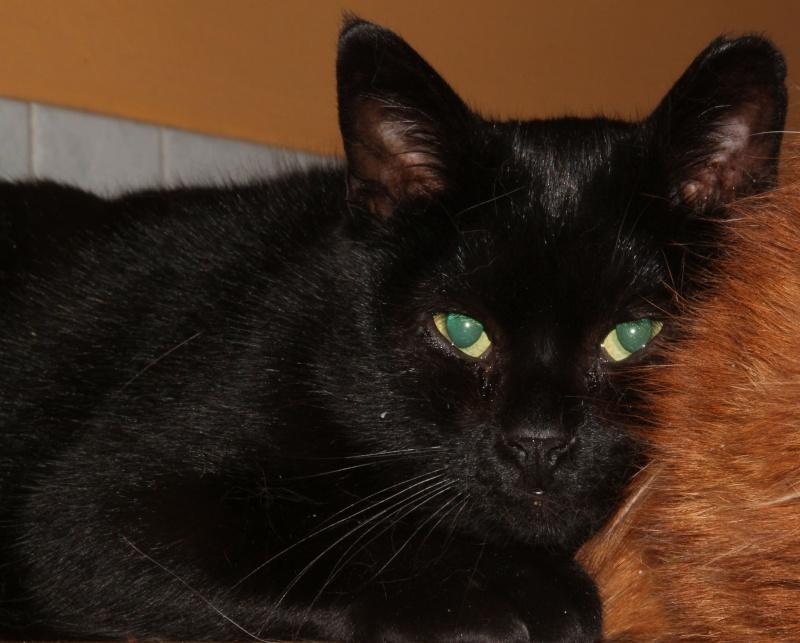 ARTHUR, jeune chat noir né en oct. 2010 Img_2410