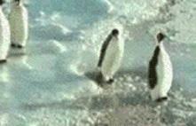 Pingouin... Pingou10