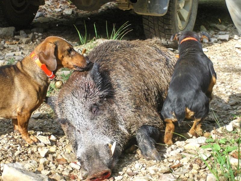Saison de chasse au Grand Gibier 2012/2013 Hpim3810