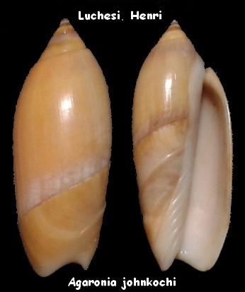 Agaronia johnkochi - Voskuil, 1990 Agaron11