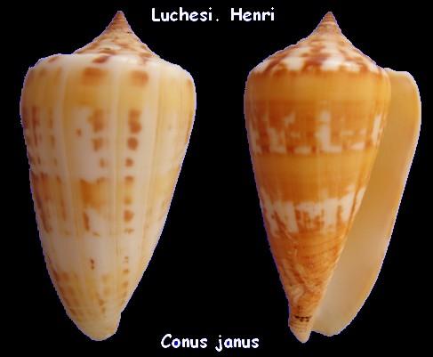 Conus (Phasmoconus) janus   Hwass in Bruguière, 1792 Conus_14