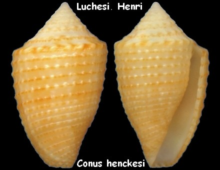 Conasprella (Ximeniconus) henckesi (Coltro, 2004)  Conus_16