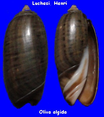 Oliva oliva f. algida (Vanatta , 1915) voir Oliva oliva (Linnaeus, 1758)  Oliva_10