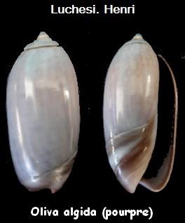 Oliva oliva f. algida (Vanatta , 1915) voir Oliva oliva (Linnaeus, 1758)  Oliva_11
