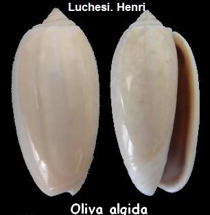 Oliva oliva f. algida (Vanatta , 1915) voir Oliva oliva (Linnaeus, 1758)  Oliva_21