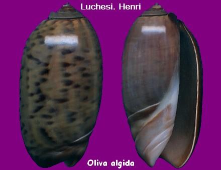 Oliva oliva f. algida (Vanatta , 1915) voir Oliva oliva (Linnaeus, 1758)  Oliva_23