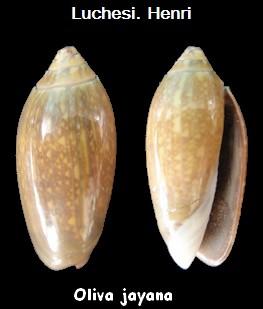 Oliva oliva jayana (Ducros de St Germain, 1857) voir Oliva oliva (Linnaeus, 1758) Oliva_26