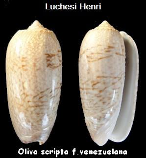 Cariboliva scripta venezuelana (Petuch & Sargent, 1986) - Worms = Oliva scripta Lamarck, 1811 Oliva_33