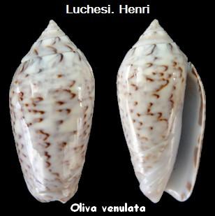 Americoliva venulata (Lamarck, 1811) Oliva_35