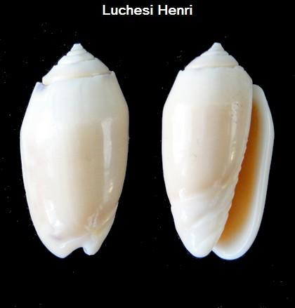 Annulatoliva annulata alba (Sowerby, 1825) voir Annulatoliva annulata (Röding, 1798) Oliva_37