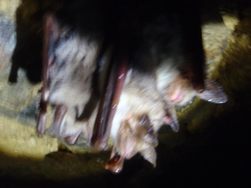 Suivi de l'hibernation des grands murins (Myotis myotis) - Page 2 P2020013