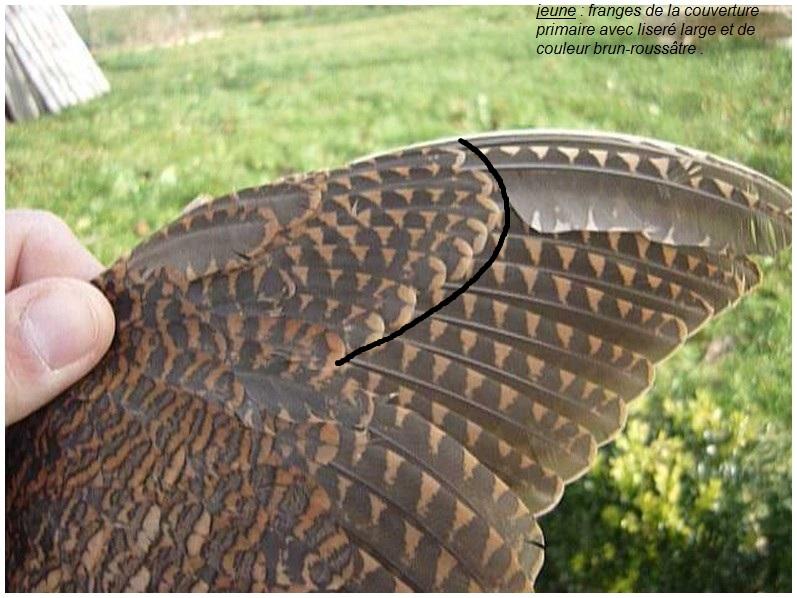 Bécasse - Lecture d'ailes de bécasse par PLC  31810110