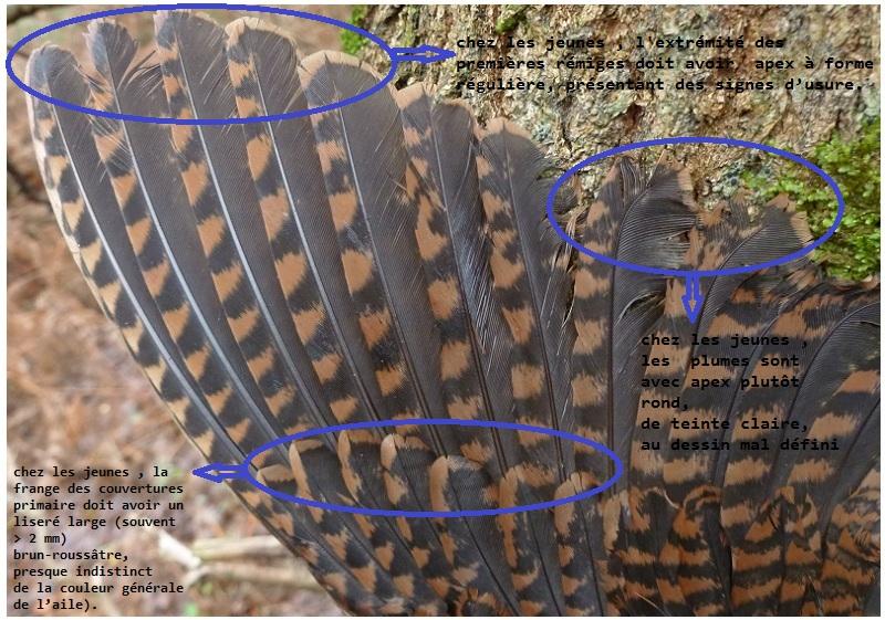 Bécasse - Lecture d'ailes de bécasse par PLC  Aile_b10