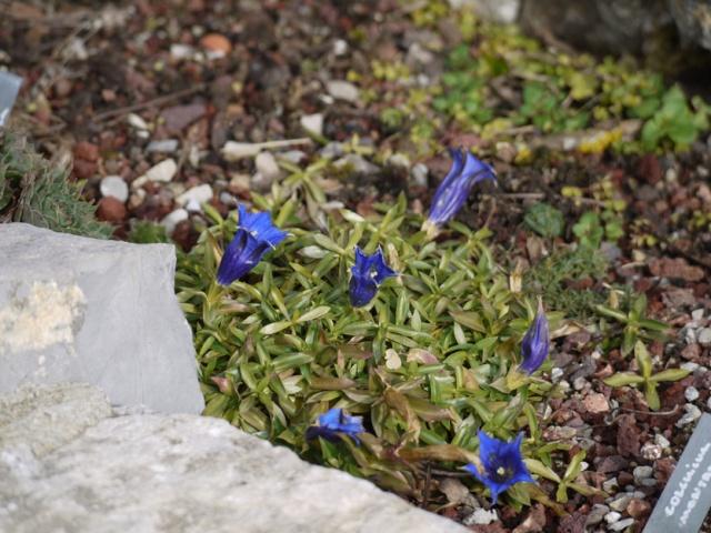 Gentiana angustifolia Gentia10