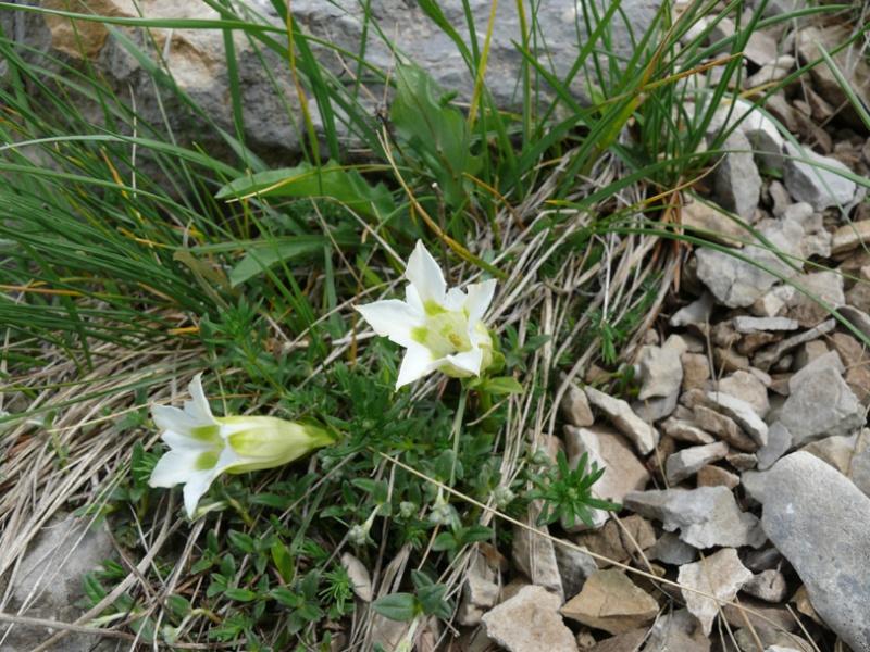 Gentiana angustifolia Gentia11
