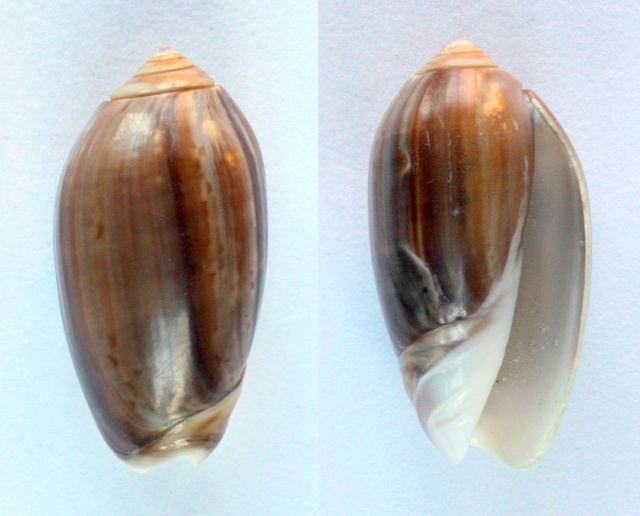 Americoliva peruviana f. subcastanea (Vanatta, 1915) accepted as Americoliva peruviana (Lamarck, 1811) Panora10