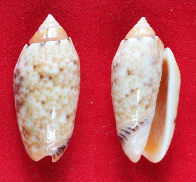 Annulatoliva annulata f. intricata (Dautzenberg, 1927) voir Annulatoliva mantichora (Duclos, 1840) Panora11