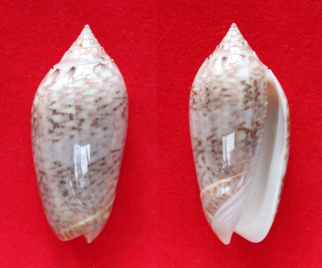 Americoliva spicata spicata (Röding, 1798) - Worms = Oliva spicata (Röding, 1798) Panora25