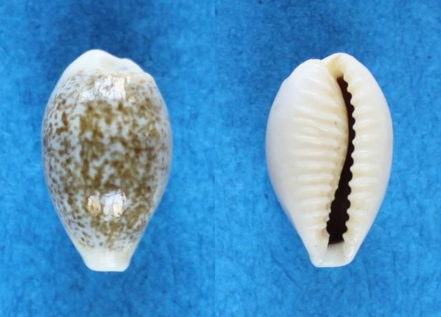 Eclogavena dayritiana - (C. N. Cate, 1963) Panora33