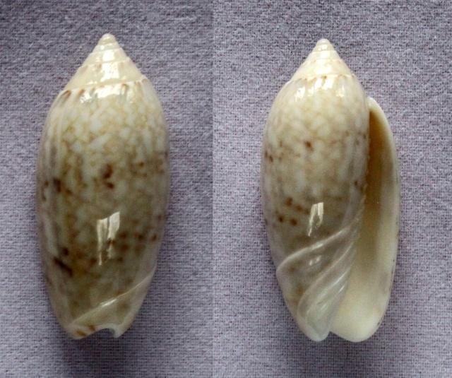 Americoliva reclusa (Marrat, 1871) Panora37