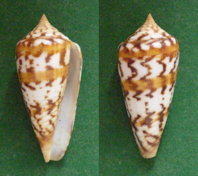 Conus (Phasmoconus) janus   Hwass in Bruguière, 1792 Panora45