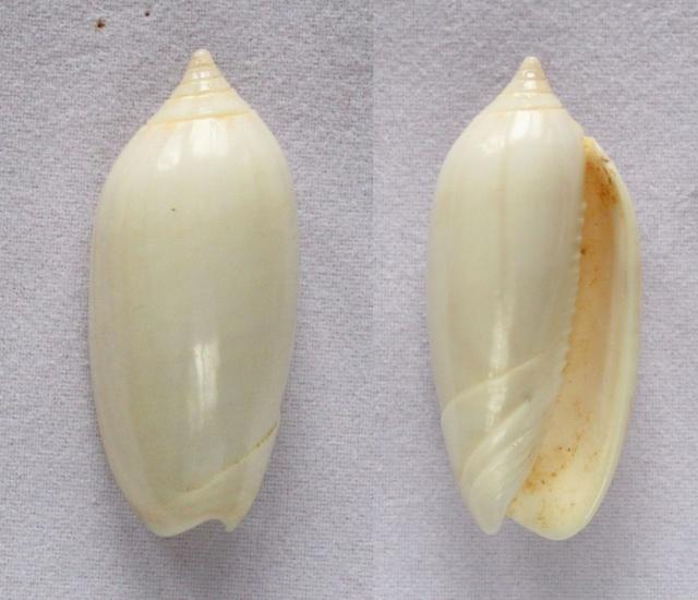 Americoliva reticularis f. olorinella (Duclos, 1835) accepted as Americoliva reticularis (Lamarck, 1811) Panora50