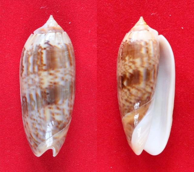 Miniaceoliva concinna f. kremerorum (Petuch & Sargent, 1986) accepted as Miniaceoliva concinna (Marrat, 1870) Panora51