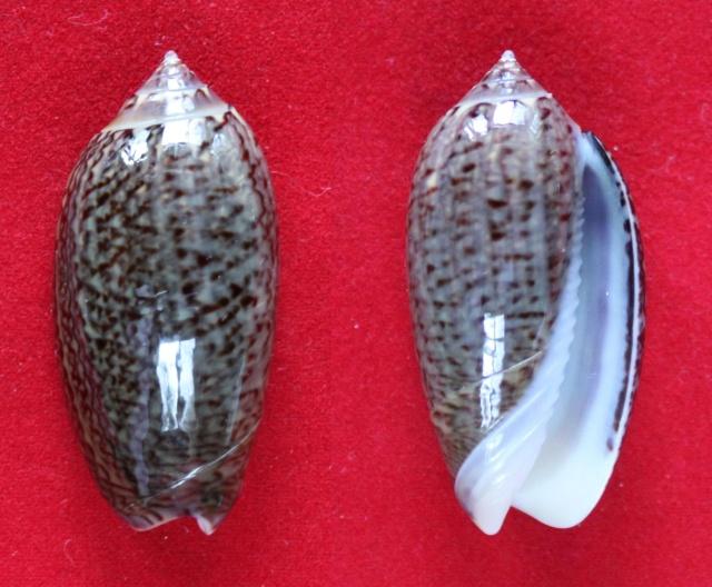 Americoliva violacea (Marrat, 1867) Panora52