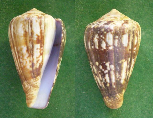 Conus (Strategoconus) splendidulus  GB Sowerby I, 1833 Panora56