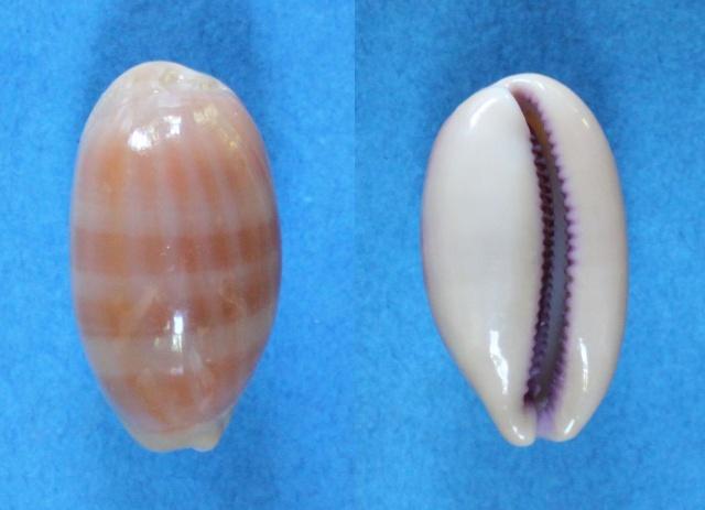 Lyncina leviathan bouteti - (Burgess & Arnette, 1981) Panora63