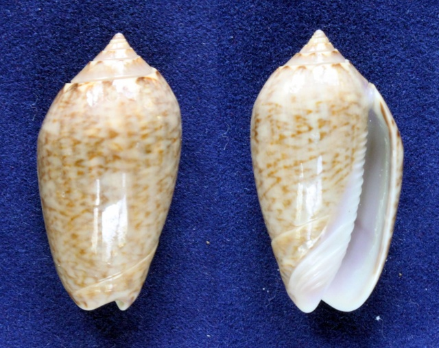 Americoliva olssoni (Petuch & Sargent, 1986) Panora67